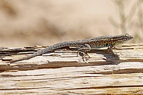 Desert Side-blotched Lizard - Uta stansburiana stejnegeri, White Sands National Monument, Alamogordo, New Mexico.jpg