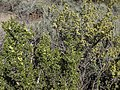 Desert bitterbrush, Purshia glandulosa in bud and early flower (front left), with Purshia tridentata in late flower and early fruit (back right) (16859906822).jpg