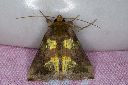 Diachrysia chrysitis, Lodz(Poland)02(js).jpg