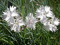 Dianthus anatolicus 3a.jpg