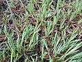 Dianthus graniticus 2017-05-06 9868.jpg