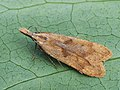 Dichomeris derasella - Выемчатокрылая моль плодовая (40841006302).jpg