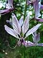 Dictamnus albus virága.jpg