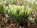 Diphasiastrum alpinum plant (14).jpg