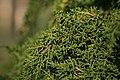 Diselma archeri (Tasman Juniper) (31150541282).jpg
