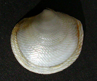 Lucinidae family of molluscs