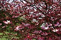 Dogwood-tree-pink-bloom - West Virginia - ForestWander.jpg