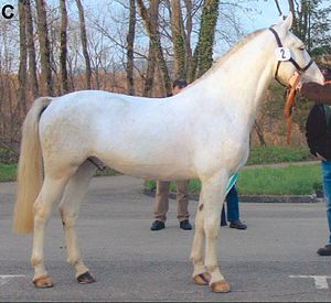 "Dominant white - The same foal as an adult horse.  100% unpigmented skin and hair is not necessary for a horse to be considered ""dominant white."" Some dominant white horses lose pigment with age, even though they do not possess the gray gene."