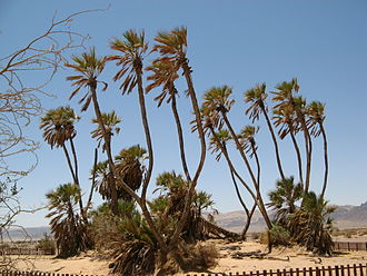 Doum palms, a food source in the Tibesti DoumPalm1 ST 08.JPG