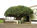 Dragoeiro,Vitoria,Graciosa,Açores.jpg