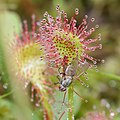 Drosera rotundifolia (capturing insects s2).jpg