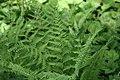 Dryopteris marginalis 12zz.jpg
