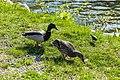 Duck (42300127652).jpg