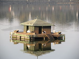 Sankey tank - Ducks coming out of their nest