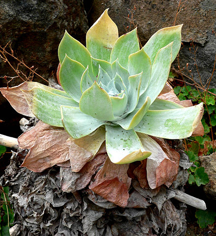 Dudleya pulverulenta is called 'chalk lettuce' for its obvious structures. This xerophyte has fleshy succulent leaves and is coated with chalky wax. Dudleya pulverulenta 1.jpg