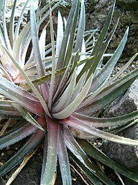 Dyckia maracasensis Habitus BotGardBln0906b.JPG