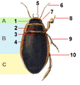 Dytiscus.marginalis.male.-.calwer.07.10 tagged.png