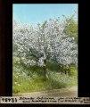 ETH-BIB-Blühender Apfelbaum, Zürich Restelbergstrasse 06.05.1940-Dia 247-12484.tif