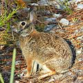 Eastern Cottontail Bunny (5797152749).jpg