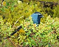 Eastern Crested Berrypecker. (Paramythia montium) (48616450796).jpg