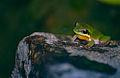 Eastern Dwarf Tree Frog (Litoria fallax) (9935754615).jpg