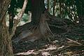 Eastern Gray Kangaroo (Macropus giganteus) (9757092473).jpg