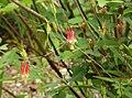 Eastern Red Columbine Aquilegia canadensis (38254842106).jpg