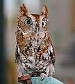 Eastern Screech-Owl (Megascops asio) RWD.jpg