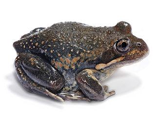 <i>Limnodynastes dumerilii</i> species of amphibian