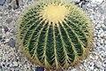 Echinocactus grusonii 7zz.jpg