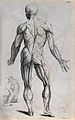 Ecorche figure, J. Tinney 1743 after Vesalius 1543 Wellcome V0008140EB.jpg