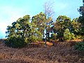 Edge of pine wood northwest of Cragside - geograph.org.uk - 303335.jpg