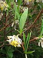 Edgeworthia chrysantha, Japan.JPG