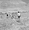 Ein Gedi Mannen maken een akker vrij van stenen voor dat deze geploegd gaat wor, Bestanddeelnr 255-2732.jpg