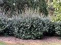 Elaeagnus x ebbingei at the Morris Arboretum 04.jpg