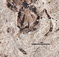 Elaeomyrmex coloradensis UCM17010 head.jpg