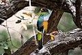 Elegant Trogon (male) V&R South Fork Portal AZ 2019-04-15 11-01-51 (47018576204).jpg