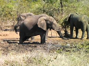Файл:Elephant drinking water - KNP - 001.ogv
