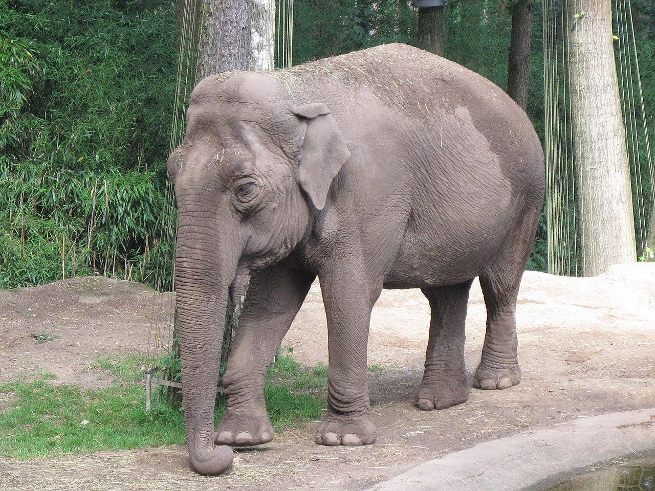 File:Elephas maximus (Asiatic elephant), Burgers zoo, Arnhem, the ...