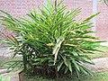 Elettaria cardamomum (Cardamon) tree in RDA, Bogra 05.jpg