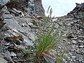 Elymus trachycaulus (5378425660).jpg