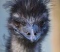 Emu (35583061242).jpg
