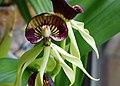 Encyclia cochleata - flower.jpg