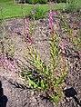 Epilobium angustifolium 2007-06-02 (plant).jpg