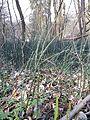 Equisetum hyemale subsp. hyemale sl2.jpg