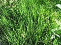 Equisetum scirpoides00.jpg
