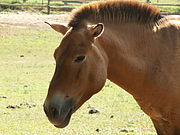 Przewalski's Horse at the Parc du Thot, France