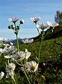 Erigeron annuus subsp. strigosus ENBLA16.jpg