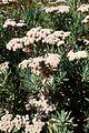 Eriogonum arborescens kz4.jpg