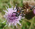 Eriothrix rufomaculatus Tachinidae - Flickr - gailhampshire.jpg